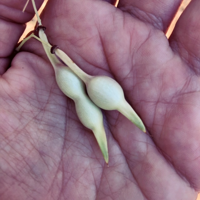 foothills palo verde edible seeds