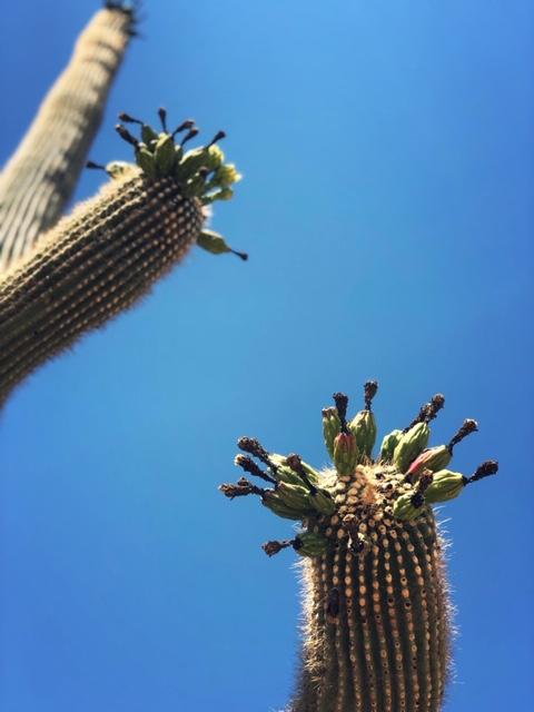 saguaro cactus fruits ripening