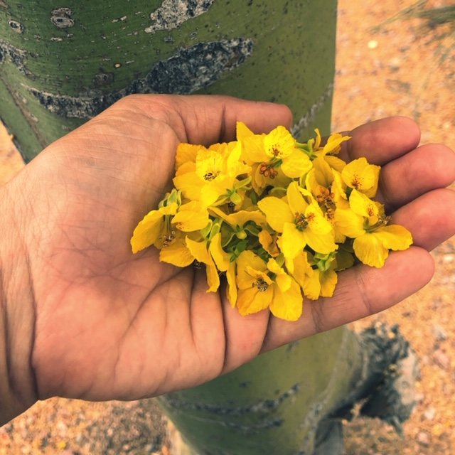 blue palo verde edible flowers