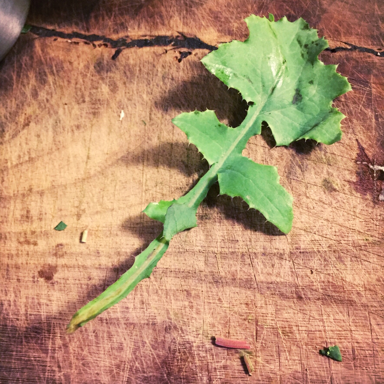 lobed leaves of sow thistle