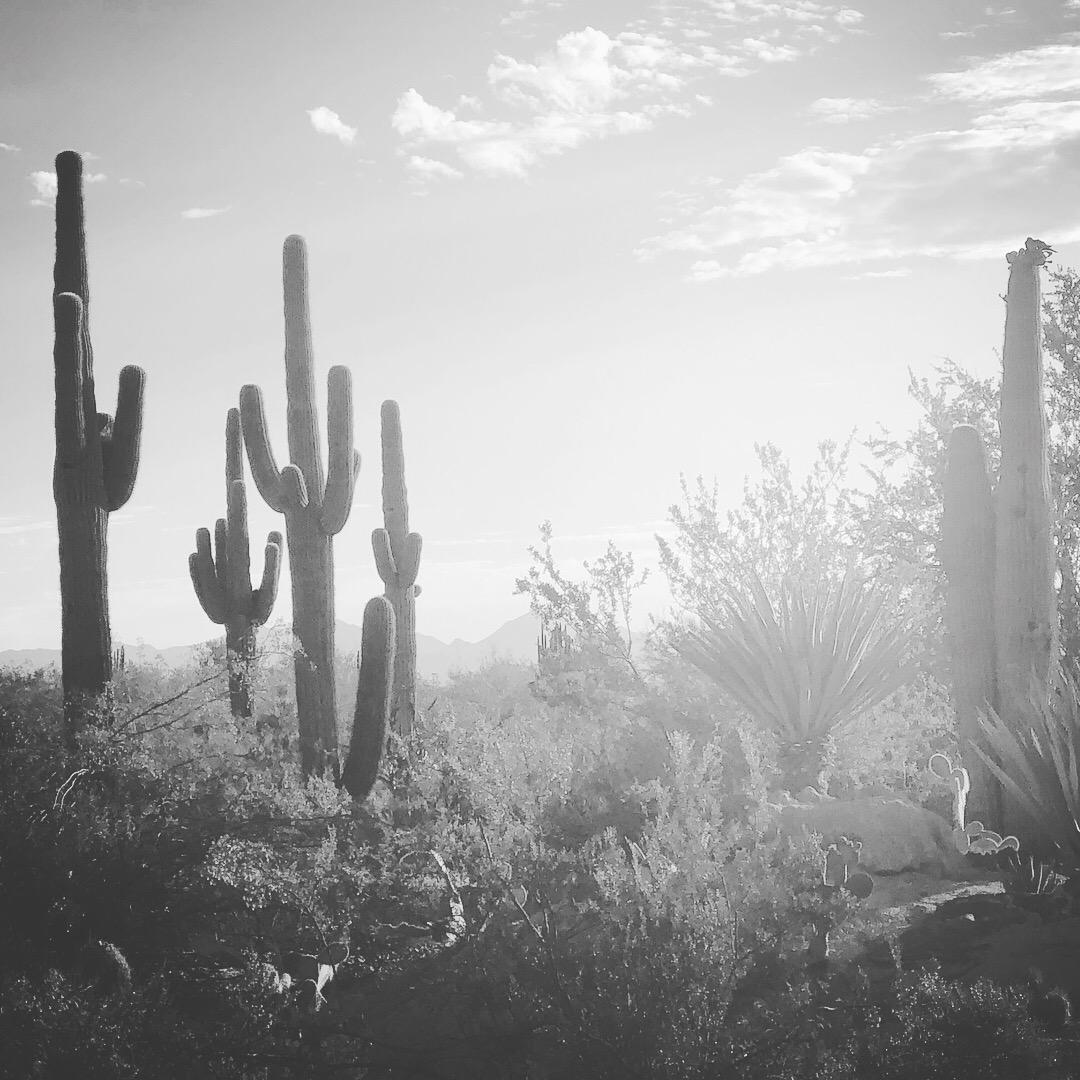 sonoran desert saguaros